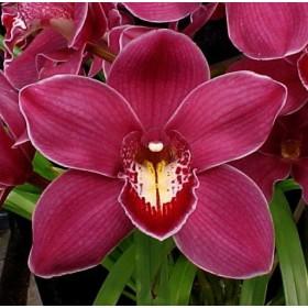 "Комплект кутери ""Орхидея цимбидиум"" - 3 елемента"